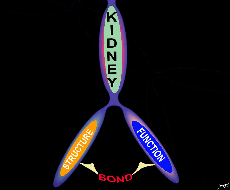 kidney, structure, function, tree mapping, bonds